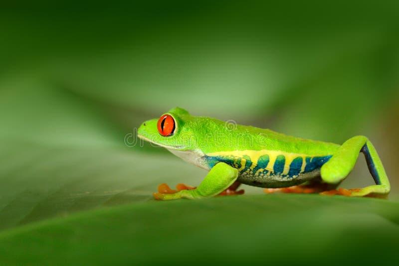 Κόκκινος-eyed βάτραχος δέντρων, callidryas Agalychnis, ζώο με τα μεγάλα κόκκινα μάτια, στο βιότοπο φύσης, Κόστα Ρίκα Βάτραχος στη στοκ φωτογραφία