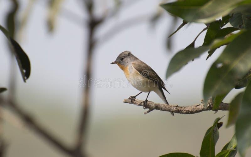 Κόκκινος-Flycatcher στο δέντρο μάγκο στοκ εικόνα με δικαίωμα ελεύθερης χρήσης