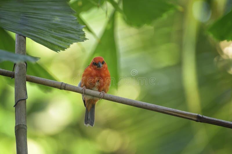 Κόκκινος fody της Μαδαγασκάρης, madagascariensis Foudia στον κλάδο Πουλί σαβανών στοκ εικόνα