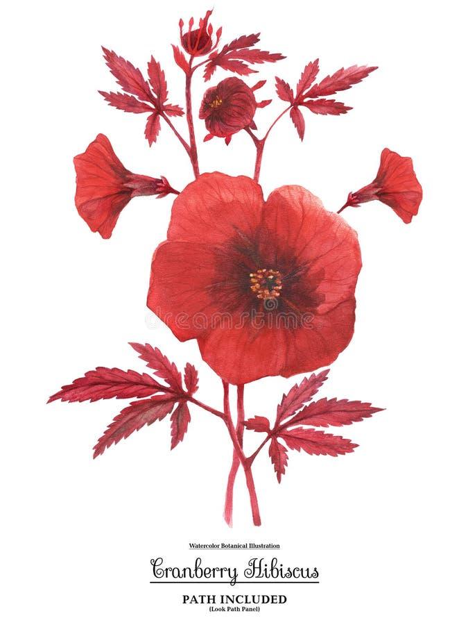 Κόκκινος hibiscus κλάδος acetosella διανυσματική απεικόνιση