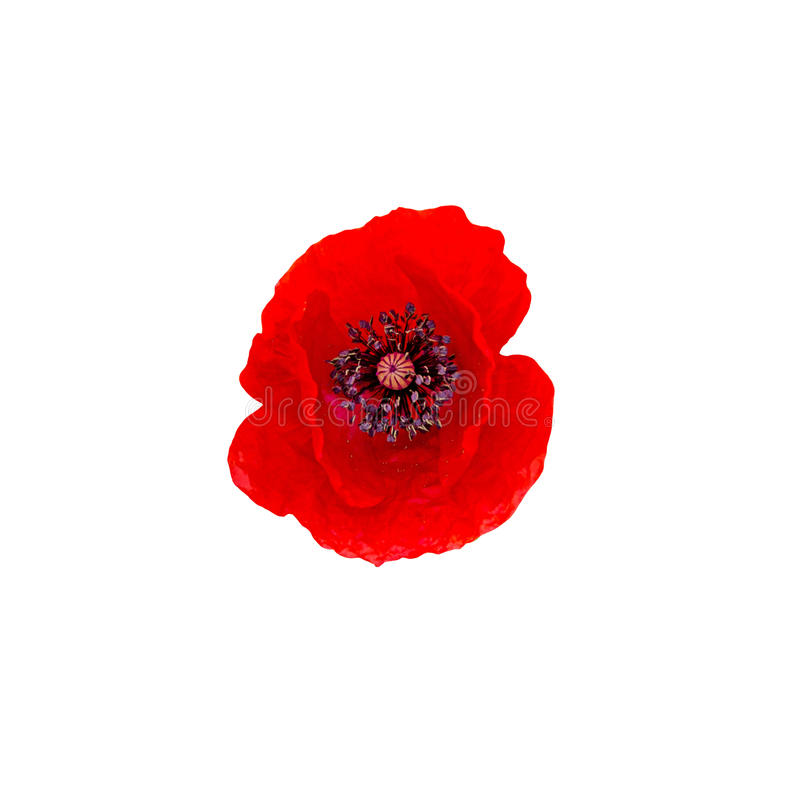 Κόκκινο άγριο λουλούδι Papaver των rhoeas & x28 η παπαρούνα καλαμποκιού, καλαμπόκι αυξήθηκε, τομέας στοκ εικόνα
