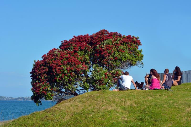 Κόκκινο άνθος λουλουδιών Pohutukawa το Δεκέμβριο στοκ εικόνες με δικαίωμα ελεύθερης χρήσης
