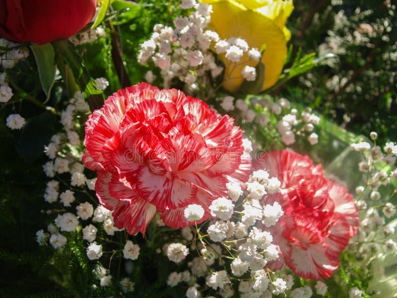 Κόκκινο, άσπρο διαμορφωμένο γαρίφαλο στην ανθοδέσμη στοκ φωτογραφίες