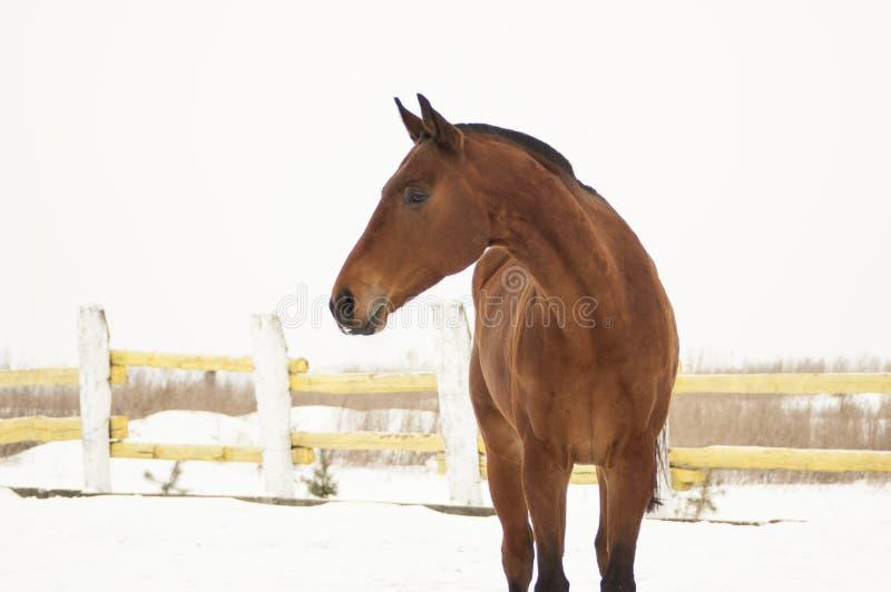 Κόκκινο άλογο που περπατά στη μάντρα στο χιόνι στοκ φωτογραφίες