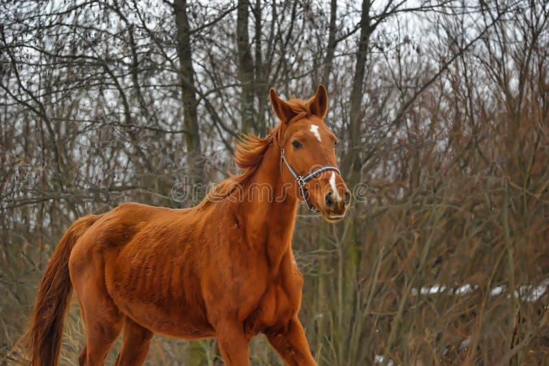 Κόκκινο άλογο στοκ φωτογραφία