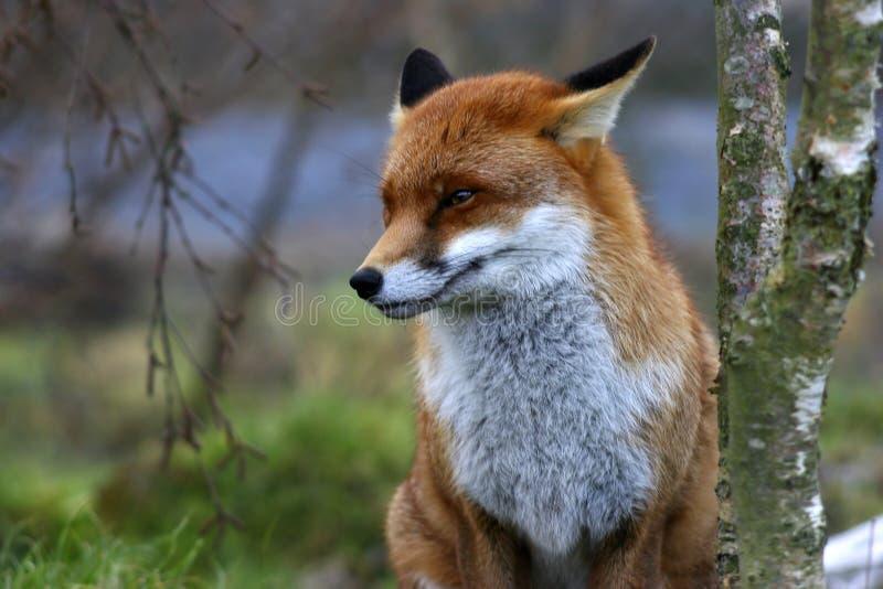 κόκκινο αλεπούδων στοκ φωτογραφίες με δικαίωμα ελεύθερης χρήσης
