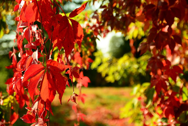 Κόκκινο αναρριχητικό φυτό της Βιρτζίνια το φθινόπωρο στοκ εικόνα