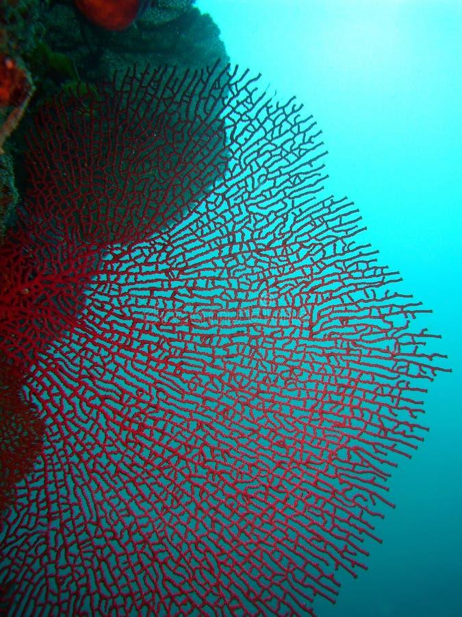 κόκκινο ανεμιστήρων κορα στοκ εικόνα