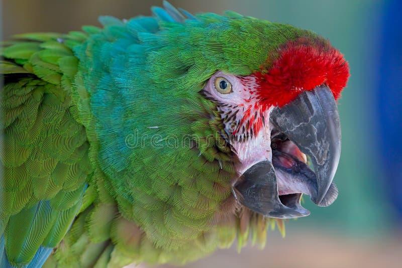 Κόκκινο αντιμετωπισμένο Macaw στοκ εικόνες με δικαίωμα ελεύθερης χρήσης