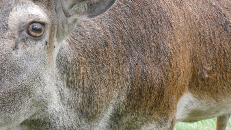Κόκκινο αρσενικό ελάφι ελαφιών που εξετάζει τη κάμερα μια όμορφη θερινή ημέρα στοκ εικόνα με δικαίωμα ελεύθερης χρήσης