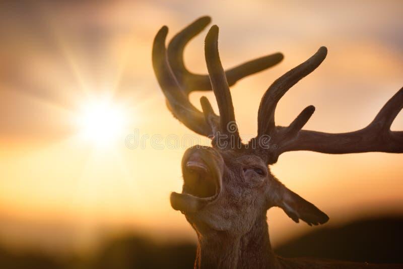 Κόκκινο αρσενικό ελάφι Bellowing ελαφιών στο ηλιοβασίλεμα στοκ εικόνες με δικαίωμα ελεύθερης χρήσης