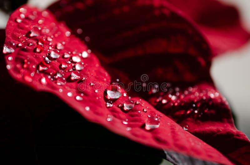 Κόκκινο βραχιόλι Πουανσέτια στοκ εικόνες