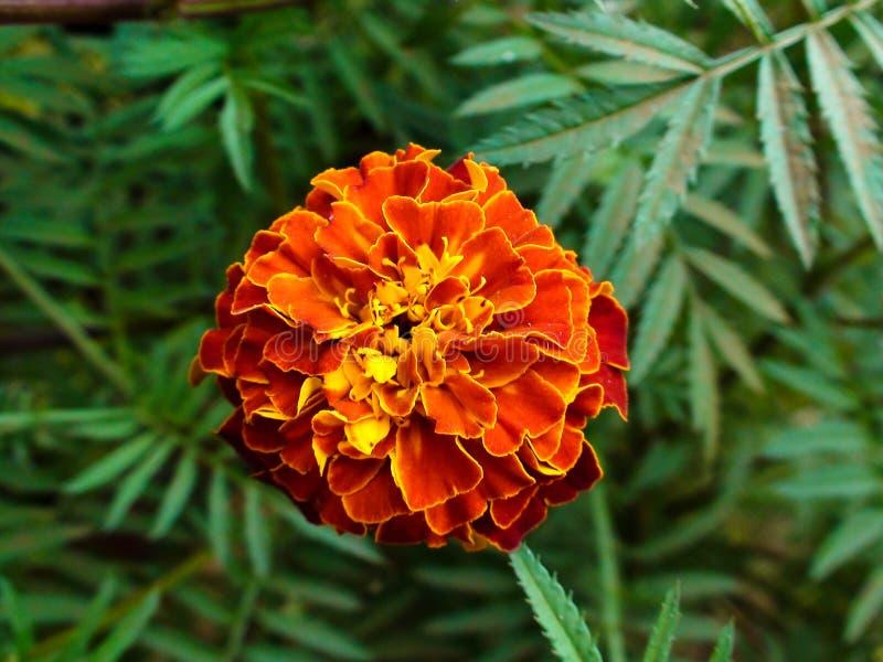 Κόκκινο γαλλικό Marigold στοκ φωτογραφίες με δικαίωμα ελεύθερης χρήσης