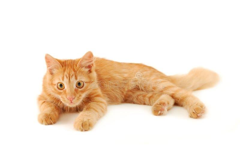 κόκκινο γατακιών στοκ φωτογραφίες με δικαίωμα ελεύθερης χρήσης