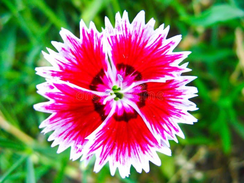 Κόκκινο γλυκό λουλούδι του William στενό σε επάνω στοκ φωτογραφίες