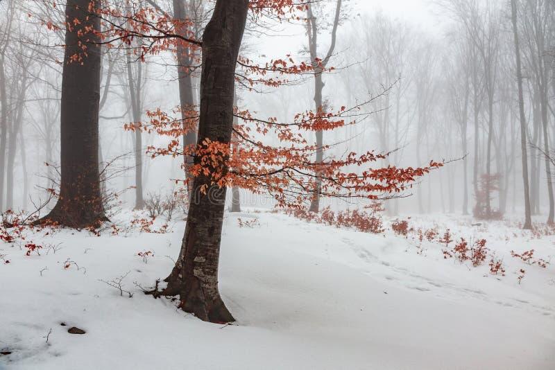 Κόκκινο δέντρο φύλλων στα χειμερινά ομιχλώδη δασικά χιονισμένα ξύλα στοκ φωτογραφία