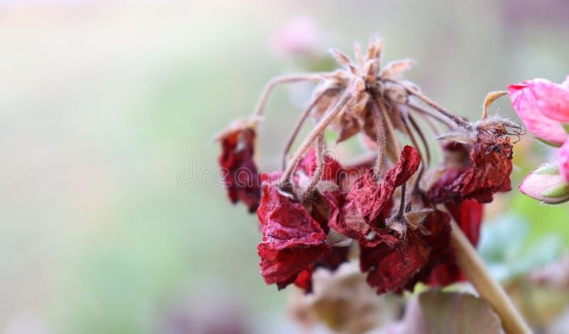 Κόκκινο, εξασθενίζοντας λουλούδι στοκ φωτογραφίες
