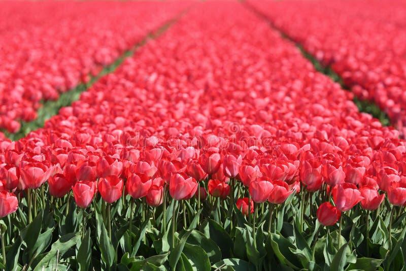 Κόκκινο ελατήριο λιβαδιών λουλουδιών τουλιπών τομέων λουλουδιών τουλιπών στοκ φωτογραφίες
