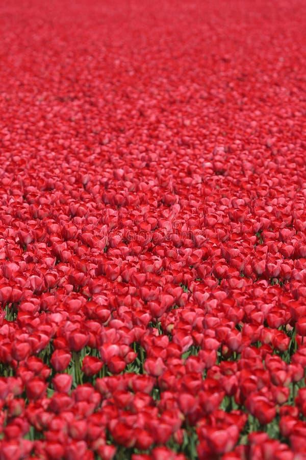 Κόκκινο ελατήριο λουλουδιών τουλιπών τομέων υποβάθρου λουλουδιών τουλιπών σε Nethe στοκ εικόνες με δικαίωμα ελεύθερης χρήσης