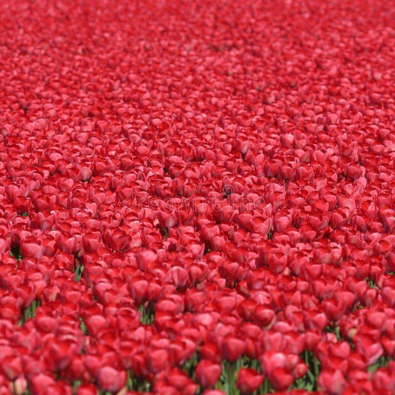 Κόκκινο ελατήριο λουλουδιών τουλιπών υποβάθρου λουλουδιών τουλιπών στις Κάτω Χώρες στοκ φωτογραφία