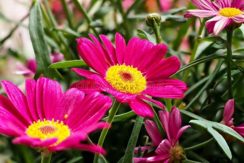 Κόκκινο ζωηρόχρωμου marguerite Robinson - κόκκινο marguerite μαργαριτών λουλουδιών στοκ φωτογραφία με δικαίωμα ελεύθερης χρήσης