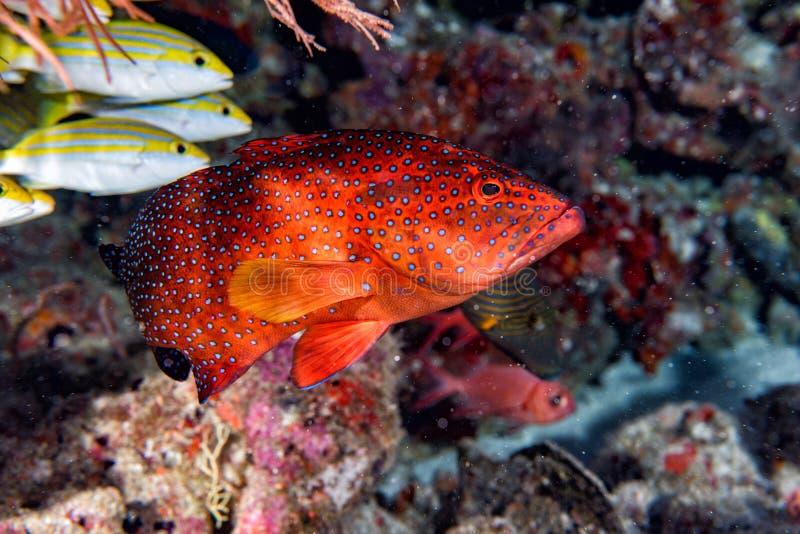 Κόκκινο ζωηρόχρωμο grouper που απομονώνεται στον ωκεανό στοκ εικόνες