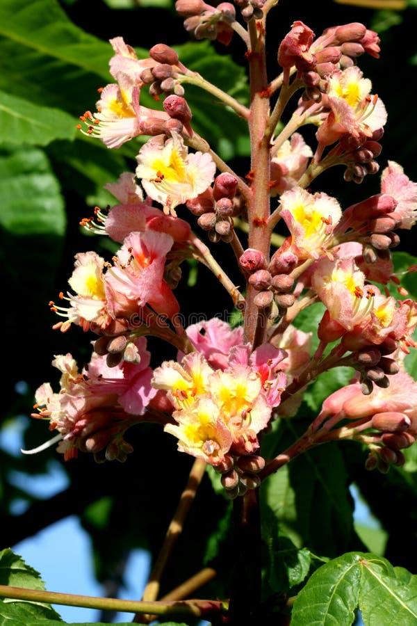 Κόκκινο κάστανο αλόγων, Aesculus Χ carnea, υβριδικό δέντρο με τα κόκκινα λουλούδια στοκ φωτογραφία