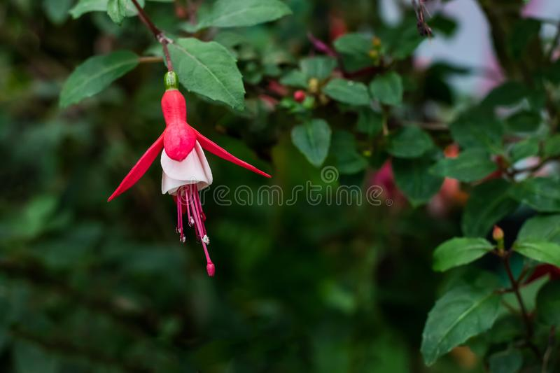 Κόκκινο και άσπρο φούξια λουλούδι με τα πράσινα φύλλα στο floral πάρκο ή τον κήπο για την αίσθηση διακοσμήσεων φρέσκος και φωτειν στοκ φωτογραφία με δικαίωμα ελεύθερης χρήσης