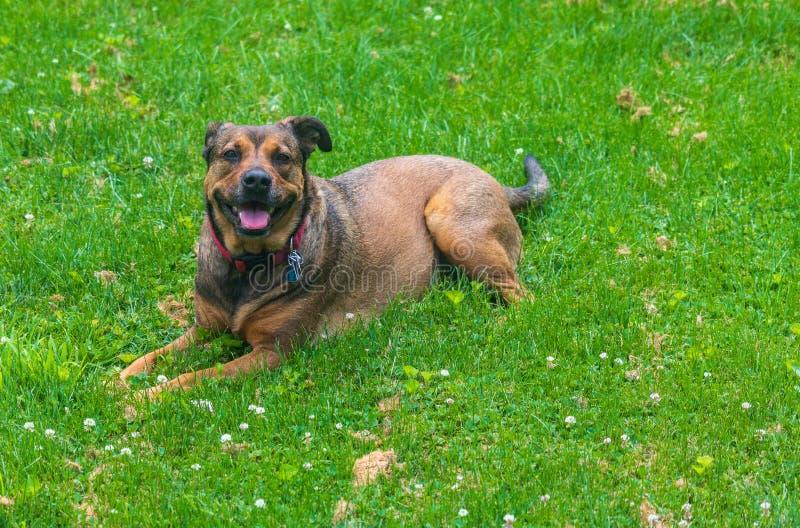 Κόκκινο και μαύρο σκυλί με ένα αυτί επάνω και ένα αυτί κάτω στοκ εικόνες