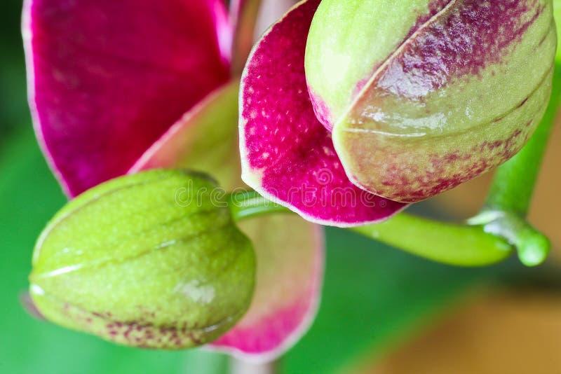 Κόκκινο και πράσινο μπουμπούκι τριαντάφυλλου του άνθους ορχιδεών, μακρο φωτογραφία στοκ εικόνες