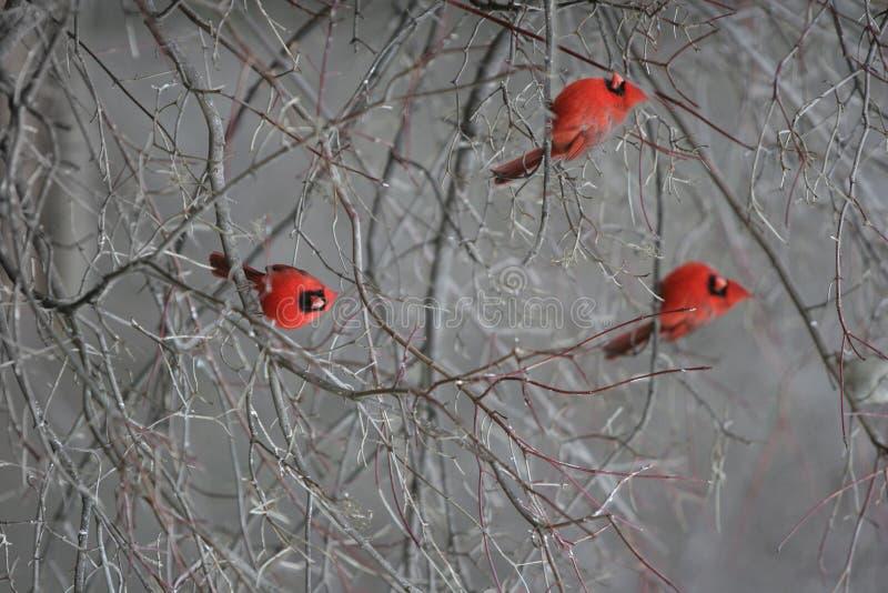 κόκκινο καρδιναλίων στοκ εικόνα με δικαίωμα ελεύθερης χρήσης