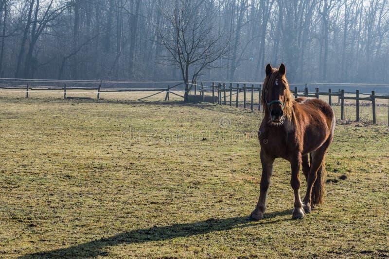 Κόκκινο καφετί άλογο στοκ εικόνα