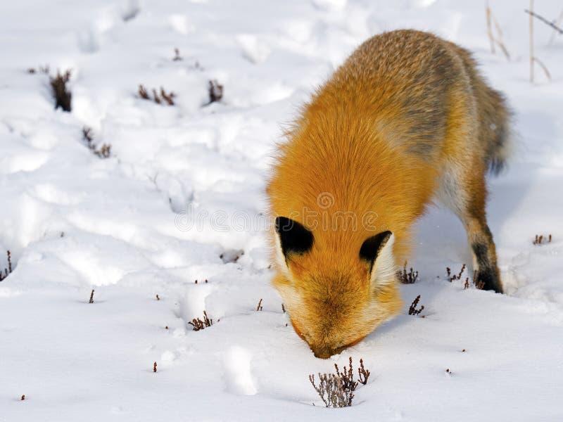 Κόκκινο κεφάλι αλεπούδων που θάβεται στο χιόνι στοκ εικόνες