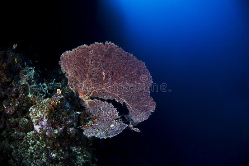 Κόκκινο κοράλλι στον τοίχο με το μπλε υπόβαθρο στοκ εικόνες με δικαίωμα ελεύθερης χρήσης