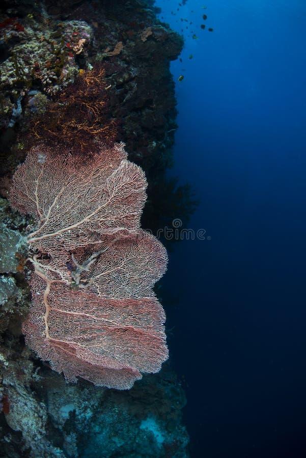 Κόκκινο κοράλλι στον τοίχο με το μπλε υπόβαθρο στοκ φωτογραφία