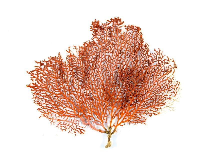 Κόκκινο κοράλλι ανεμιστήρων Gorgonian ή Ερυθρών Θαλασσών που απομονώνεται στο άσπρο υπόβαθρο στοκ εικόνες
