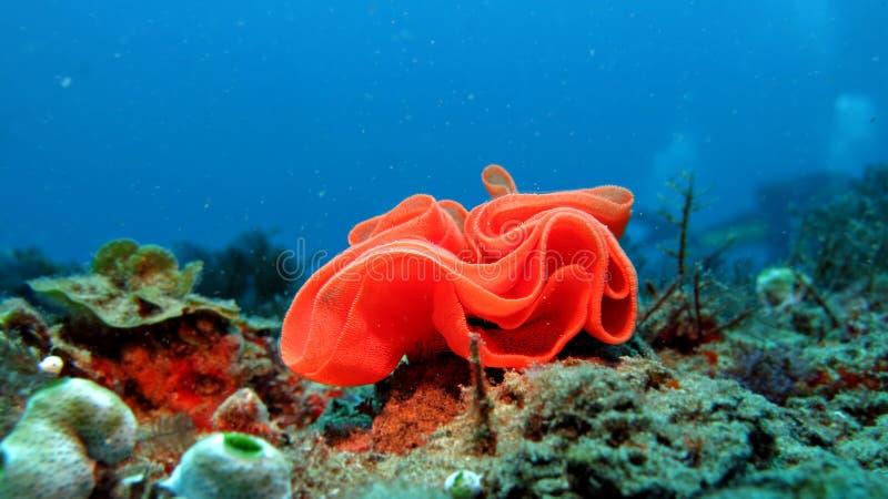 Κόκκινο κοράλλι στοκ εικόνα με δικαίωμα ελεύθερης χρήσης