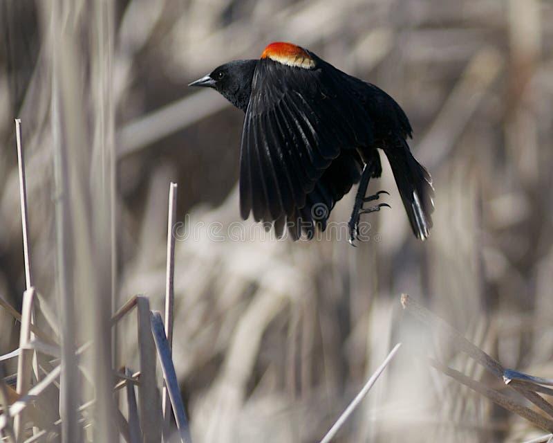 κόκκινο κοτσύφων φτερωτό στοκ φωτογραφία