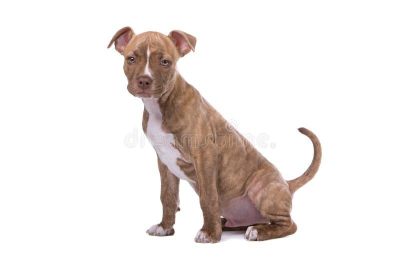 κόκκινο κουταβιών μύτης pitbull στοκ φωτογραφία με δικαίωμα ελεύθερης χρήσης