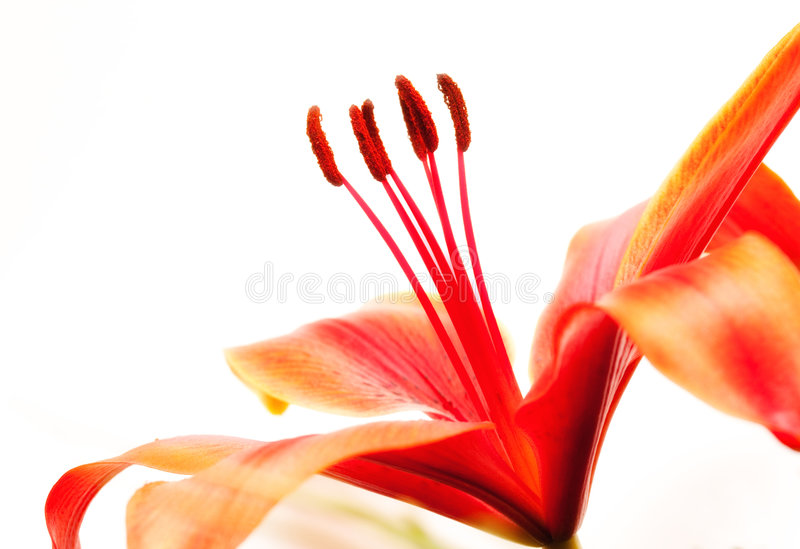 κόκκινο κρίνων στοκ εικόνες με δικαίωμα ελεύθερης χρήσης
