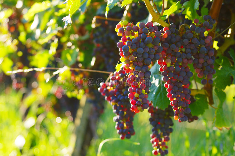 κόκκινο κρασί σταφυλιών στοκ εικόνες με δικαίωμα ελεύθερης χρήσης