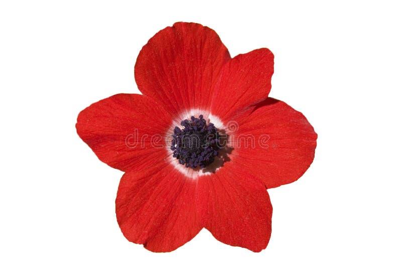 κόκκινο λευκό λουλου& στοκ εικόνες