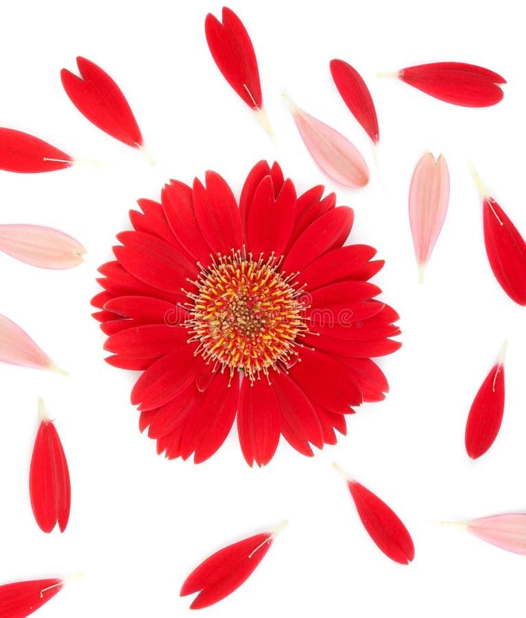 κόκκινο λευκό πετάλων λουλουδιών ανασκόπησης στοκ φωτογραφία με δικαίωμα ελεύθερης χρήσης
