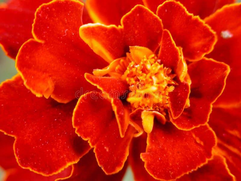 κόκκινο λουλουδιών Στοκ Φωτογραφίες