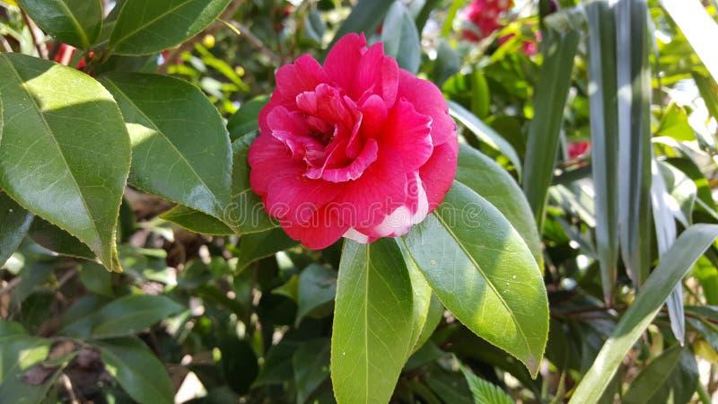 Κόκκινο λουλούδι στοκ φωτογραφίες με δικαίωμα ελεύθερης χρήσης