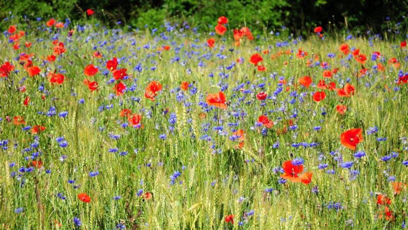 Κόκκινο λουλούδι παπαρουνών και μπλε πανόραμα τομέων cyanus Centaurea cornflower στοκ φωτογραφία με δικαίωμα ελεύθερης χρήσης