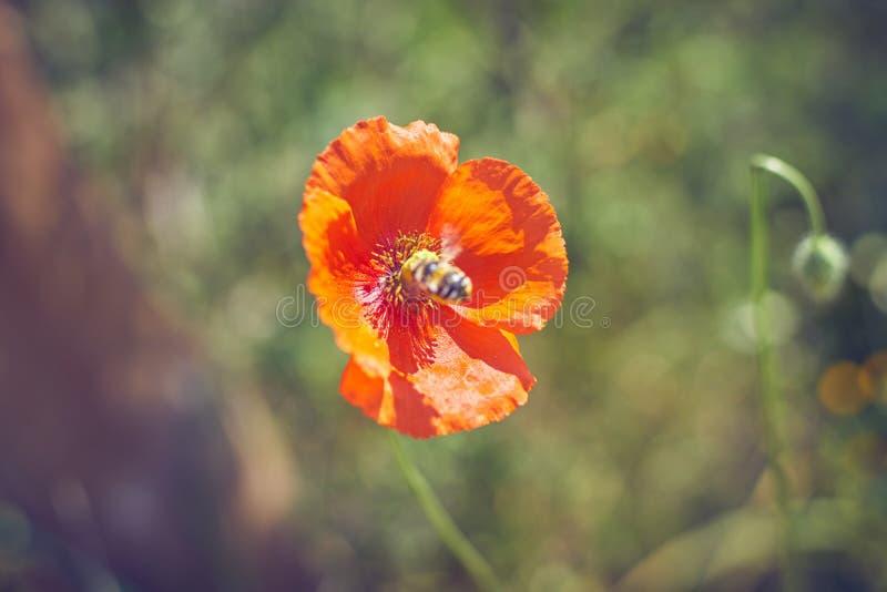 Κόκκινο λουλούδι παπαρουνών με μια επικονιάζοντας μέλισσα στοκ φωτογραφίες με δικαίωμα ελεύθερης χρήσης