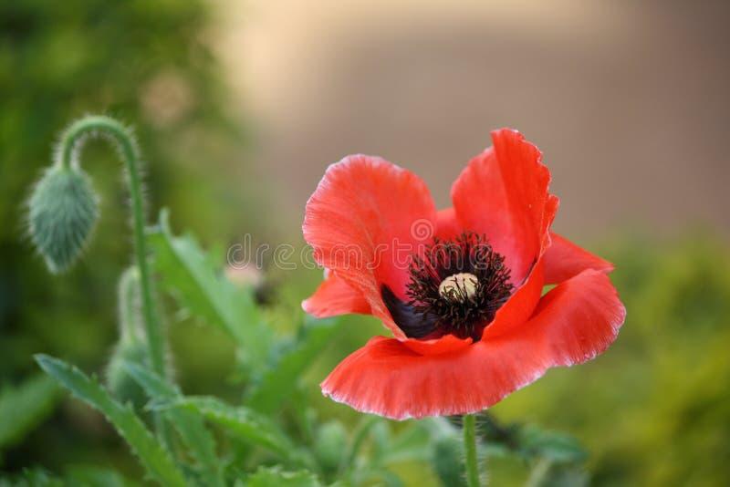 Κόκκινο λουλούδι παπαρουνών στοκ εικόνα με δικαίωμα ελεύθερης χρήσης