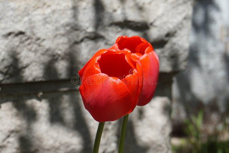 Κόκκινο λουλούδι στο πεζοδρόμιο στοκ εικόνα