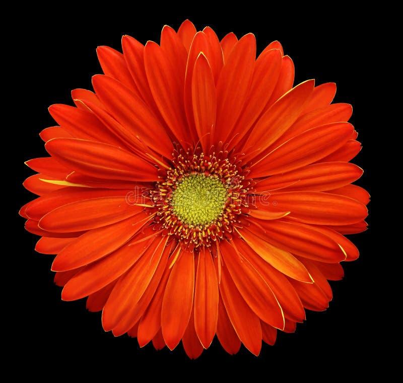Κόκκινο λουλούδι gerbera, απομονωμένο ο Μαύρος υπόβαθρο με το ψαλίδισμα της πορείας closeup Καμία σκιά Για το σχέδιο στοκ εικόνες
